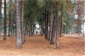 pine-plantation
