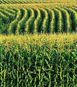 biofuel from corn