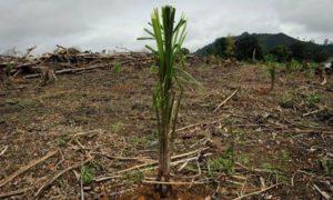 palm-oil-tree