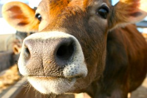Study finds biodiesel benefits livestock producers