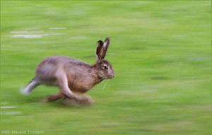North Yorkshire hare's tracked in Hull biofuel project ‎